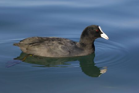 Eurasian coot (Fulica atra) on a lake with reflection.