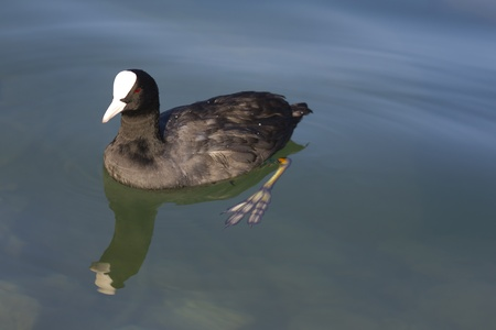 Eurasian coot (Fulica atra) on a lake with clearly visible foot. Archivio Fotografico