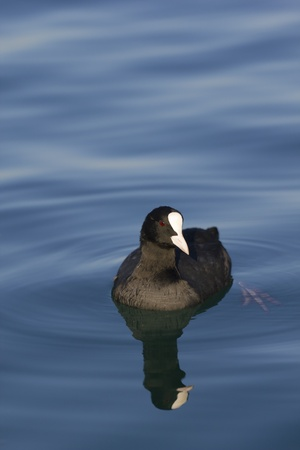 coot: Eurasian coot (Fulica atra) on a lake with reflection.