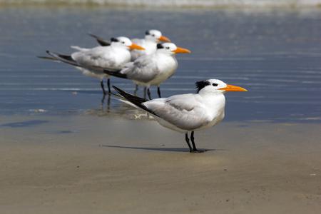 Royal terns (Thalasseus maximus) at sea