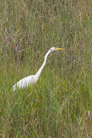 The Great Egret in Everglades national park, Florida Archivio Fotografico