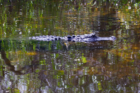 Alligator swimming in the Everglades national park, Florida