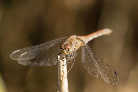 sympetrum: Common darter dragonfly (Sympetrum striolatum) portrait. Stock Photo