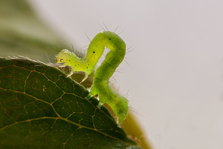 A macro of The Buttoned Snout moth caterpillar(Hypena rostralis) on a leaf.