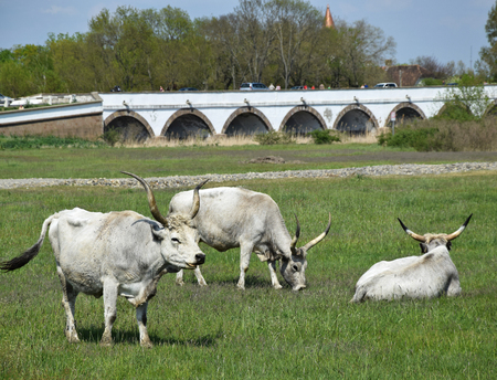 Wild cattles next to the bridge Hortobagy