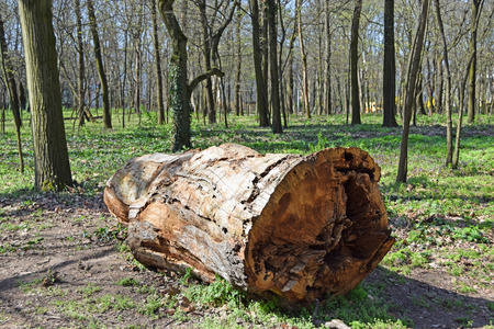 truncated: Large tree trunk in the woods Stock Photo