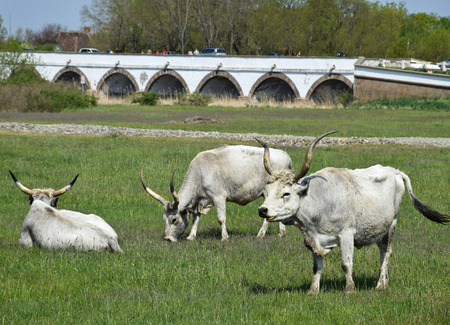 Gray wild cattles on the meadow