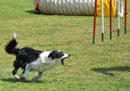 犬の敏捷性のコンテスト