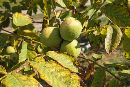 Green walnut in the tree in autumn
