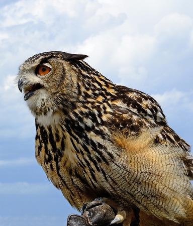 Young hawk portrait Stock Photo