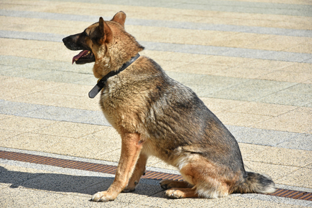 German shepherd dog outdoor