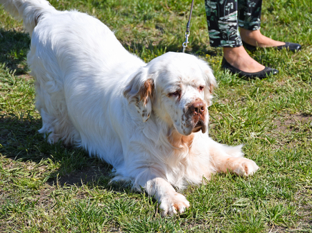 Clumber spaniel dog outdoor