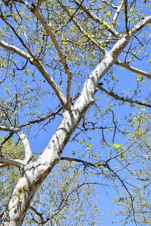 Chestnut tree in spring time Stockfoto - 123225347