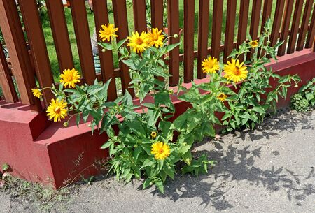 Yellow margaret flowers next to a fence on the street Banco de Imagens