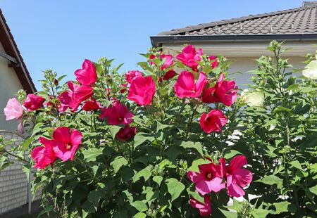 Mallow flowers in the garden Reklamní fotografie