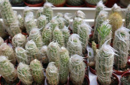 Cactus plants in little pots