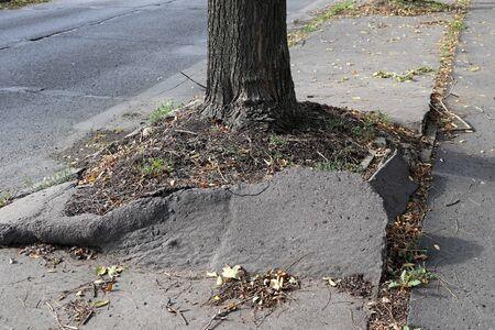 Tree broke the asphalt of the pedestrian walkway