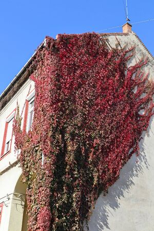Building covered with climbing plants in autumn