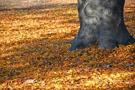 Fallen leaves of the tree in autumn time