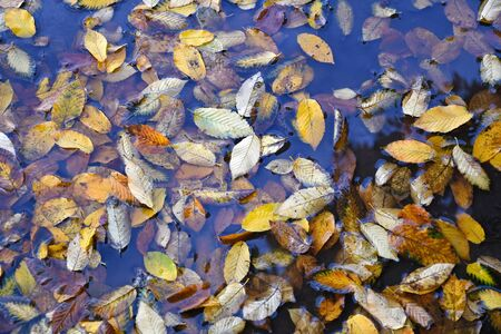 Fallen leaves in water autumn time
