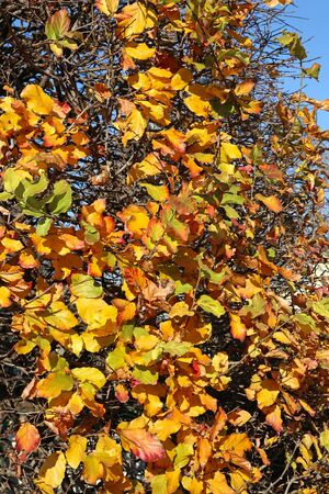 Yellow leaves of the tree in autumn time