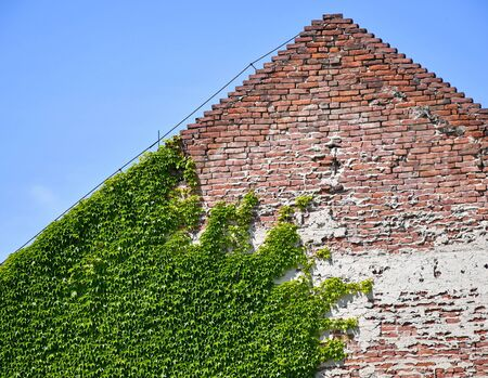 Climbing plants on the brick wall