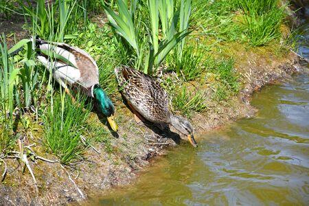 Wild duck couple at the pond Banco de Imagens