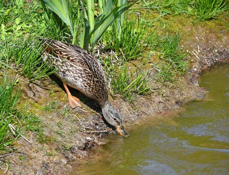 Female wild duck at the pond