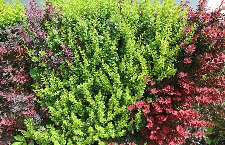 Green and red leaves of the bush in spring time Banco de Imagens