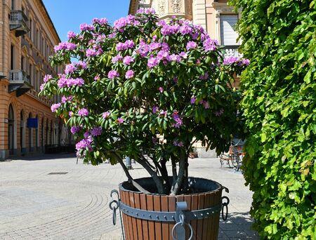Purple flowers of the bush in the city Banco de Imagens