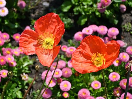 Poppy and daisy flowers in summer time