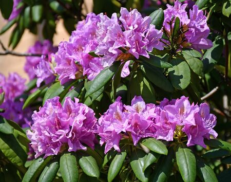 Purple flowers of the bush in summer time