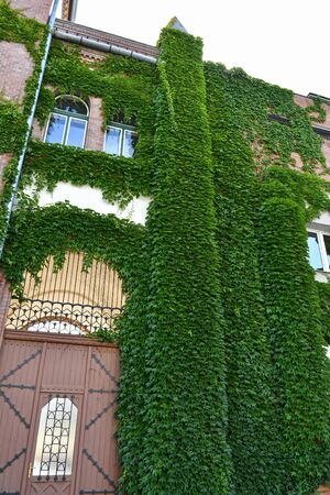 Wall of a building covered with climbing plant
