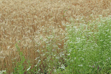Cereal plants before harvest in summer time