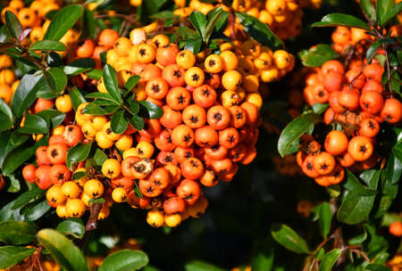 Red berries in autumn time 版權商用圖片