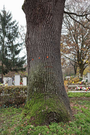 Large tree in the cemetery
