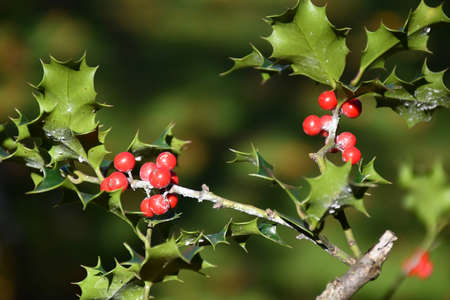 Holly berry in the woods autumn time