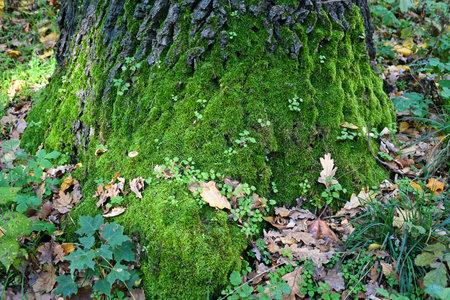 Moss on the tree trunk autumn time 版權商用圖片
