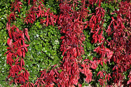 Red and green leaves in autumn time 版權商用圖片