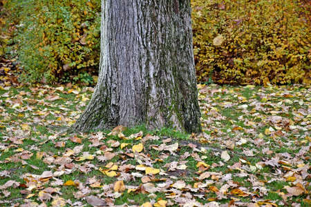 Large tree trunk in autumn time
