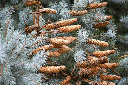 Pine cones in the tree