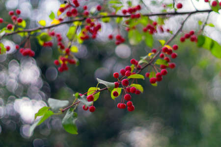 crab apple tree: Red ripe apples on green branch: autmn in the city. Malus baccata var. sibirica. Stock Photo