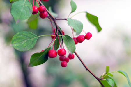 Red ripe apples on green branch: autmn in the city. Malus baccata var. sibirica. Stock Photo