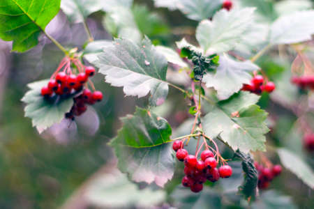 Brunch with red fruit of hawthorn. Crataegus sanguinea. Stock Photo
