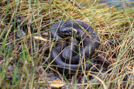 A black snake with bright spots crouched in the green grass. The mosquito takes advantage of the snake's immobility and sucks the blood from its head. Snake closely monitors the situation.