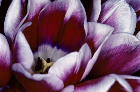 floristry: Detail of the centre of a purple tulip with its delicate petals, a popular ornamental flower used in floristry