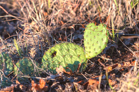 Heart shaped cactus soaks in morning sun