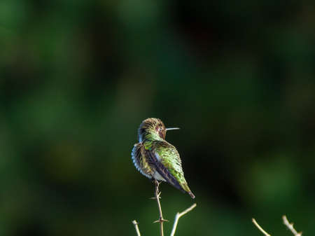 Hummingbird perched atop shrub branch  photo