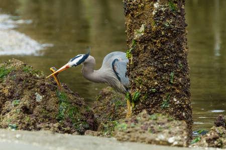 stabs: Great Blue Heron stalking and eating eels in eelbed Stock Photo