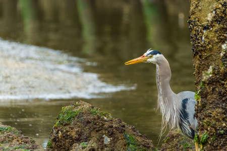 great blue heron: Great Blue Heron stalking and eating eels in eelbed Stock Photo